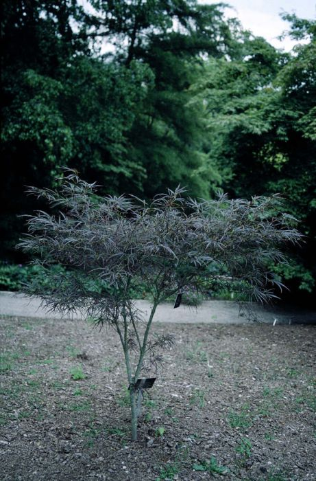 Japanese maple 'Red Pygmy'