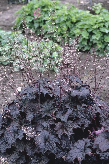 heuchera 'Molly Bush'