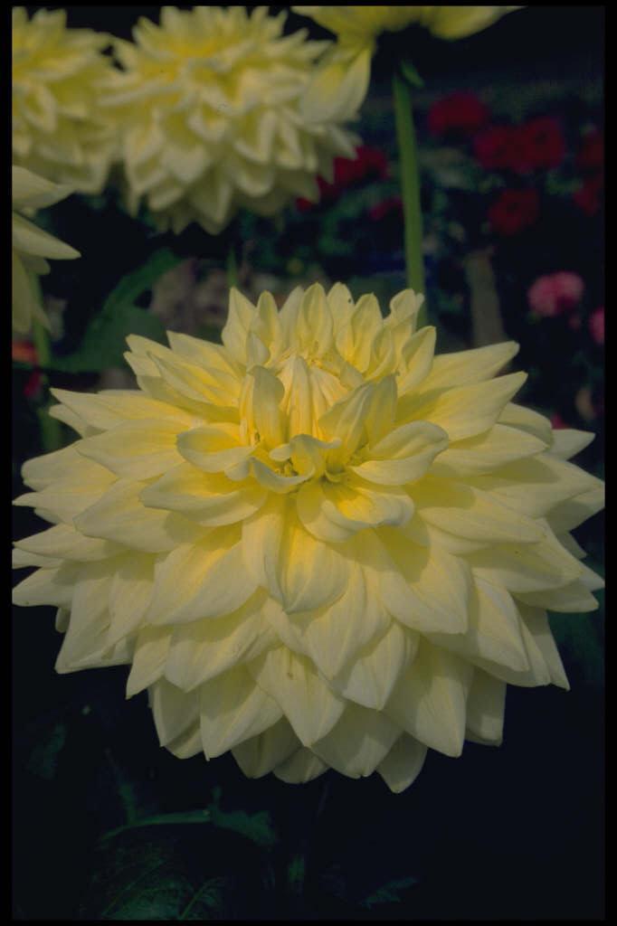 dahlia 'Alva's Supreme'