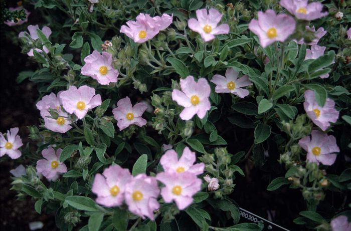 rock rose 'Grayswood Pink'
