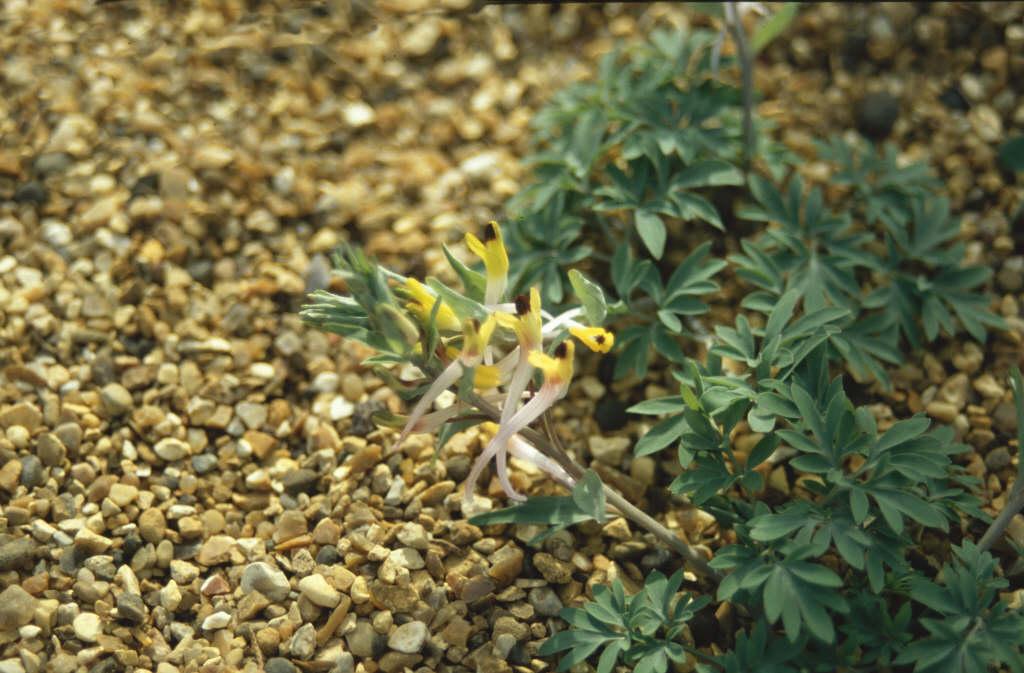 long-flowered corydalis