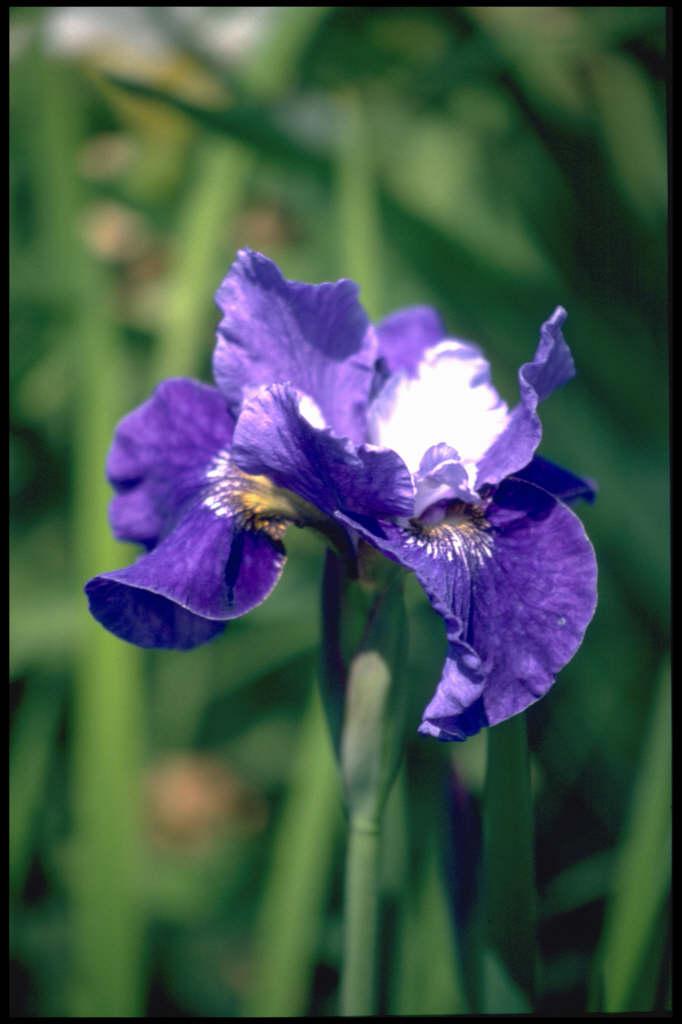Siberian iris 'Regency Belle'