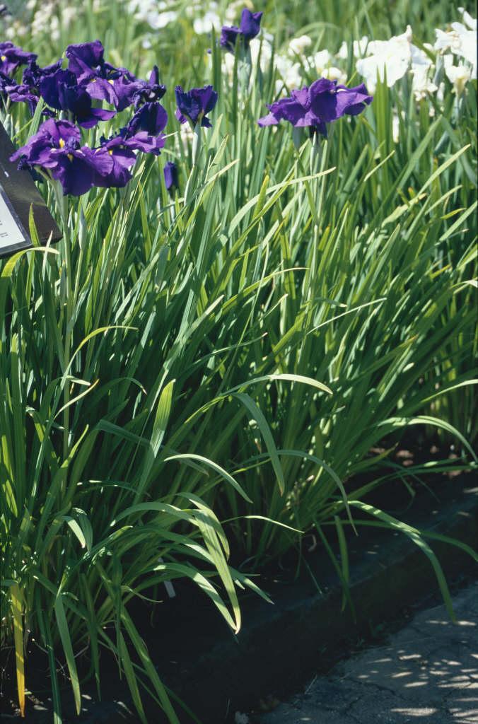 Japanese water iris 'Aldridge Visitor'