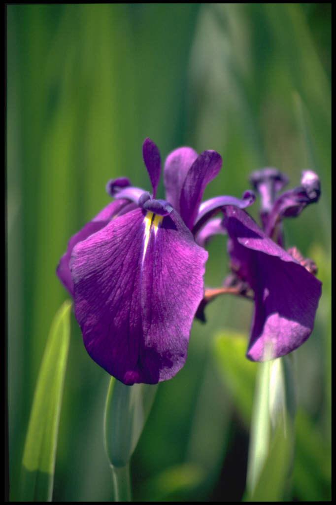 Japanese water iris 'Variegata'