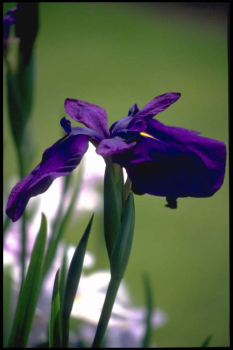 Japanese water iris 'Barr Purple East'