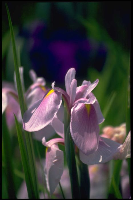 Japanese water iris 'Rose Queen'