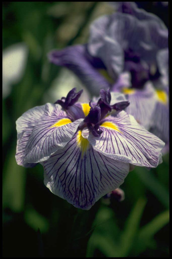 Japanese water iris 'Caprician Butterfly'