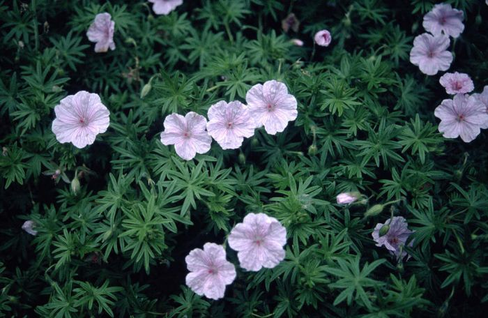 striped bloody cranesbill