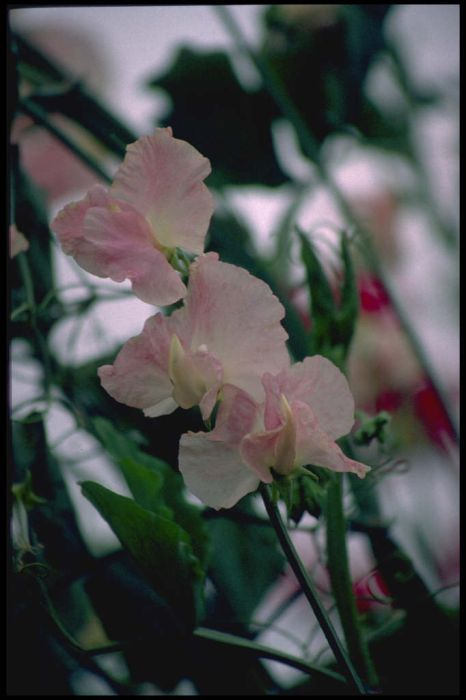 sweet pea 'Bobby's Girl'