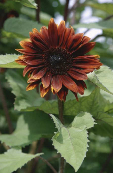 sunflower 'Claret'