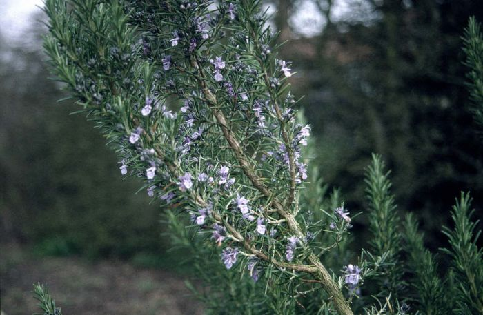 rosemary 'Benenden Blue'