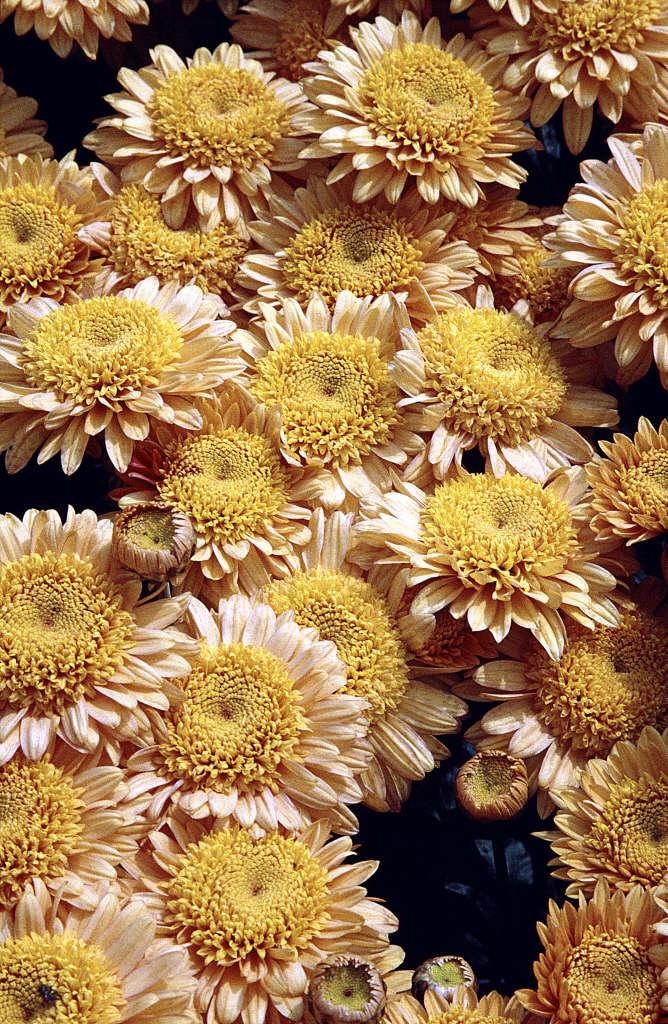 chrysanthemum 'Susan's Bonnet'
