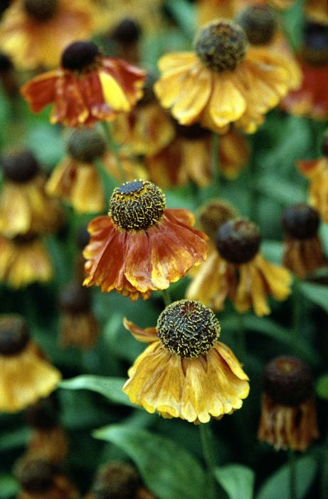 sneezeweed 'Sahin's Early Flowerer'
