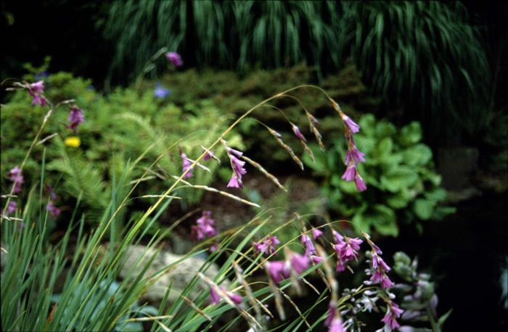 Drakenberg wandflower