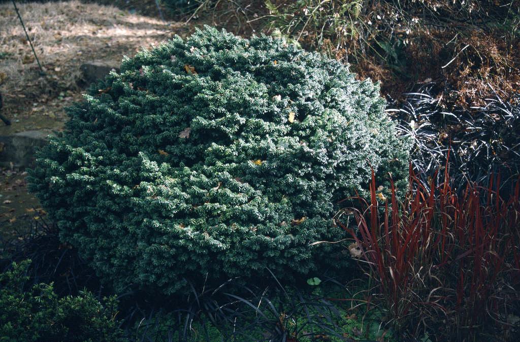 Hudson fir