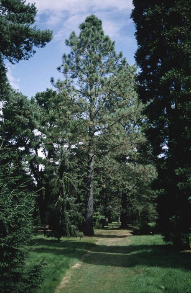 Jeffrey's pine