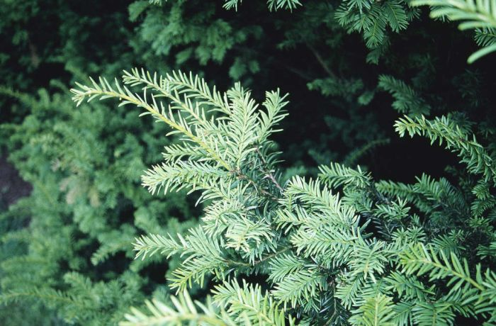 common yew 'Semperaurea'