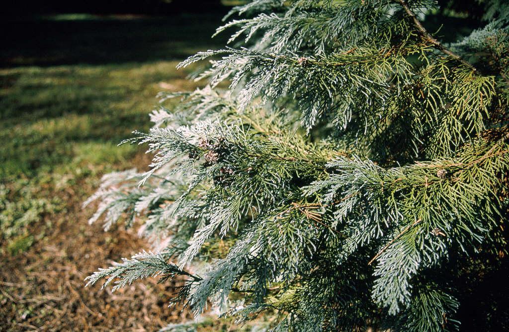 Lawson's cypress 'Triomf van Boskoop'
