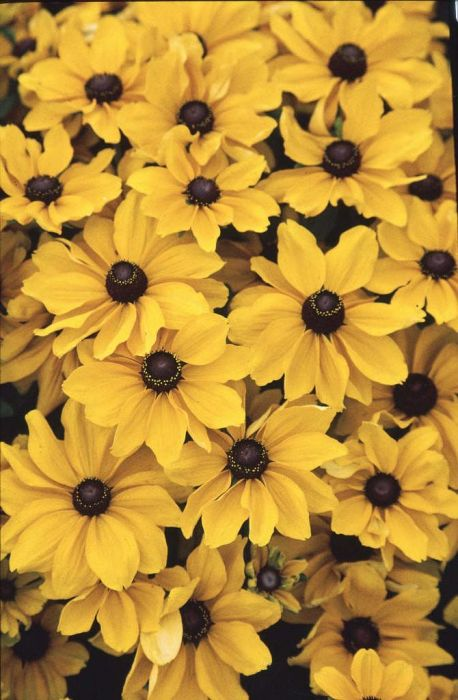 black-eyed Susan 'Toto'