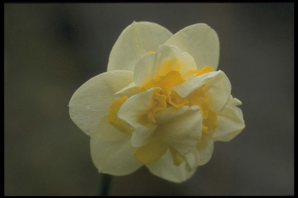 daffodil 'Serena Lodge'
