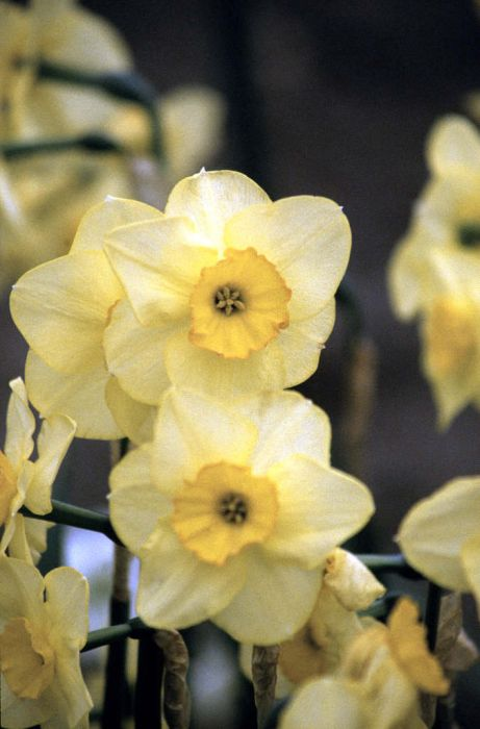 daffodil 'Highfield Beauty'