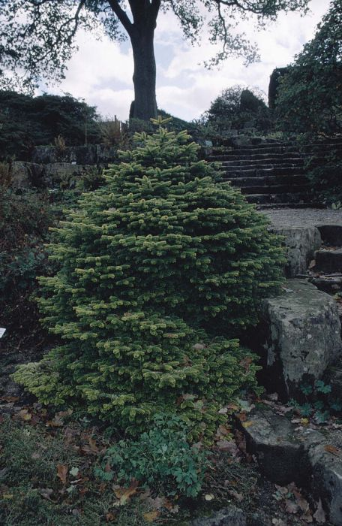Caucasian fir 'Golden Spreader'