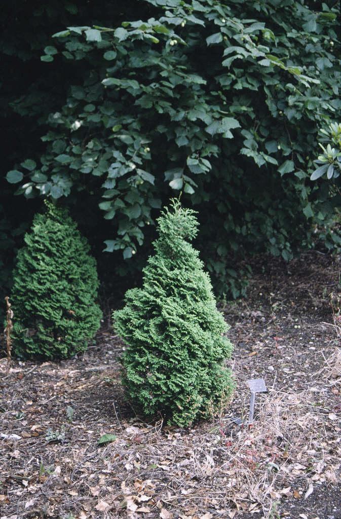 white cedar 'Holmstrup'