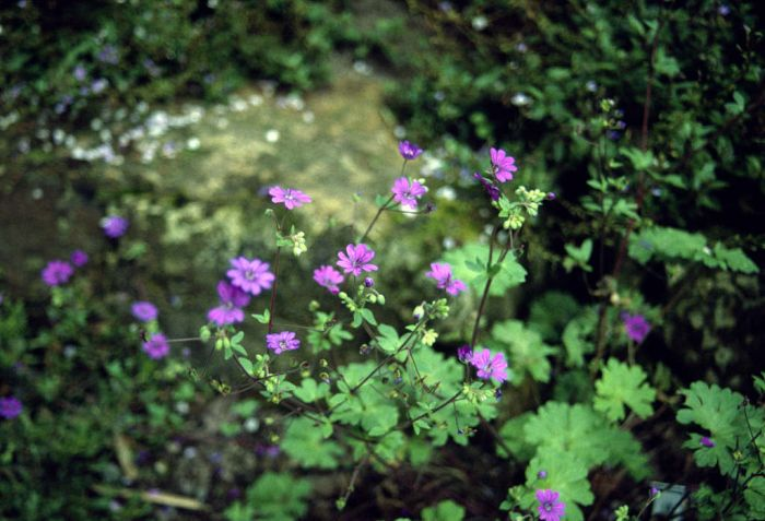mountain cranesbill 'Bill Wallis'