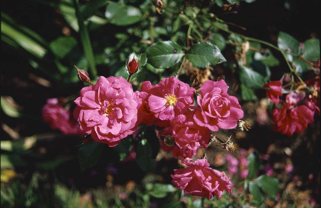 rose [Wiltshire]