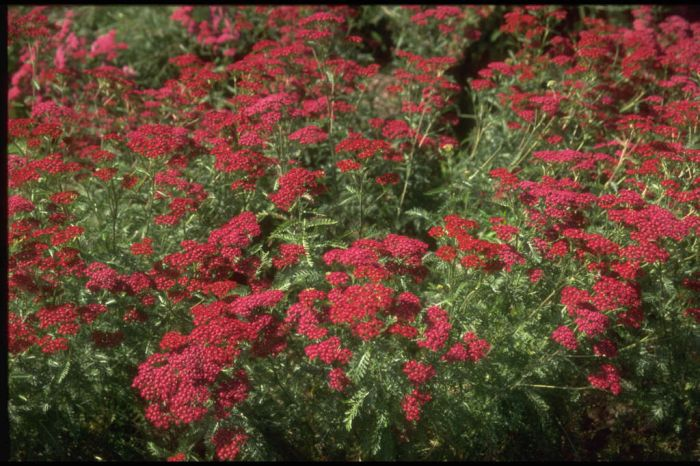 yarrow 'Summerwine'