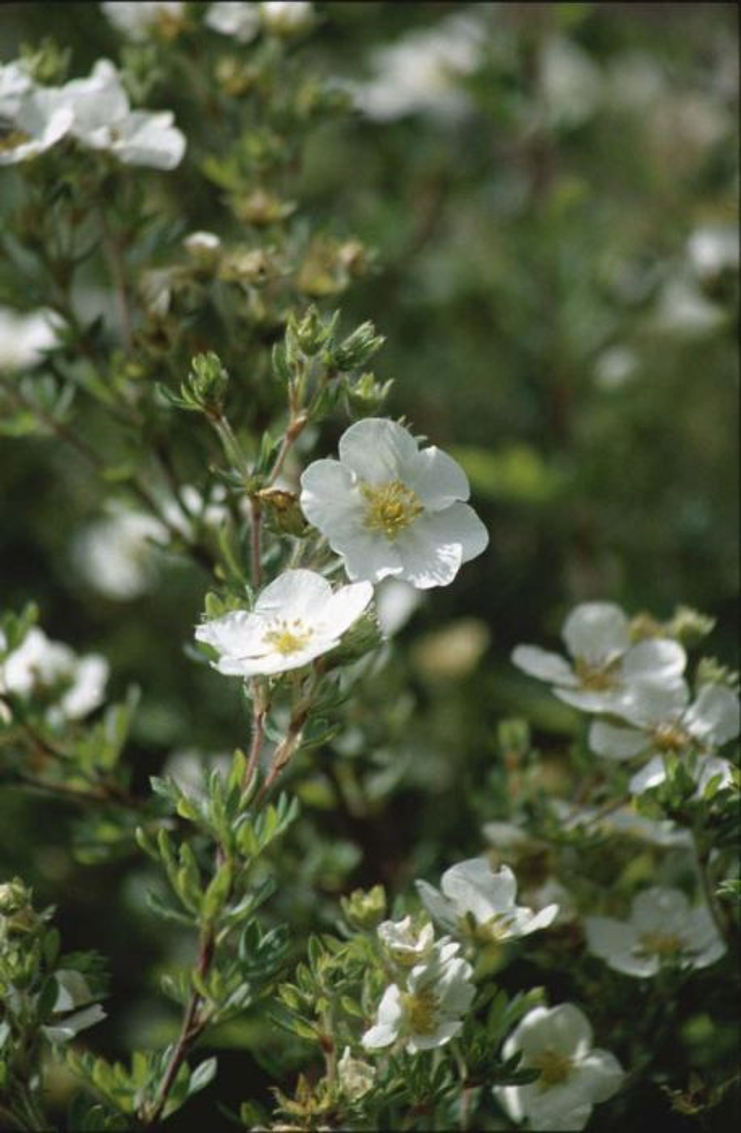 shrubby cinquefoil 'Abbotswood'