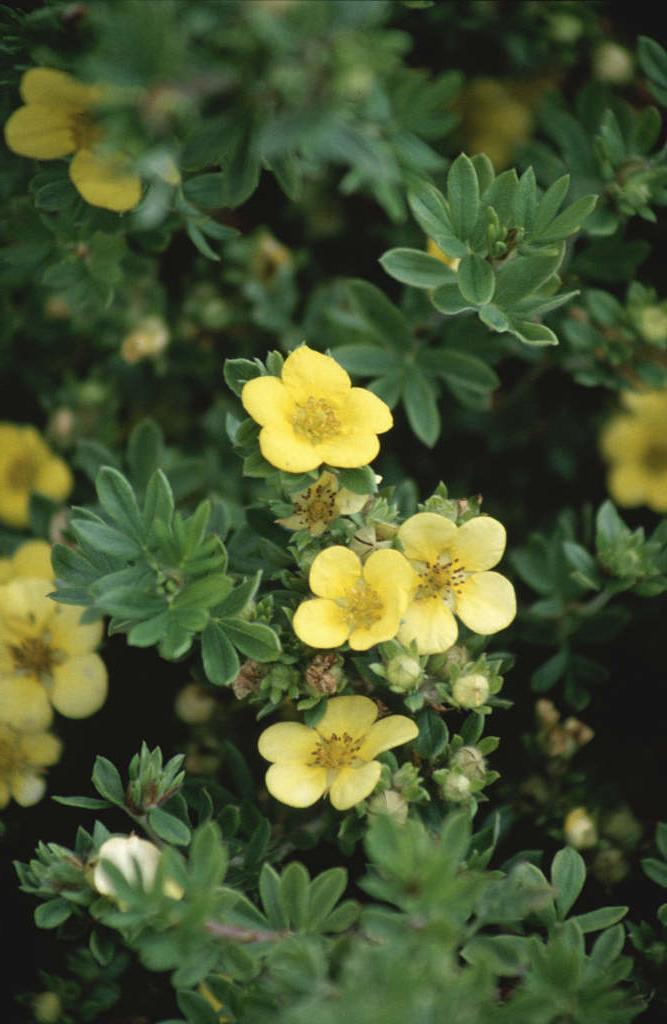 <i>Potentilla fruticosa</i> (Sulphurascens Group) 'Longacre Variety'