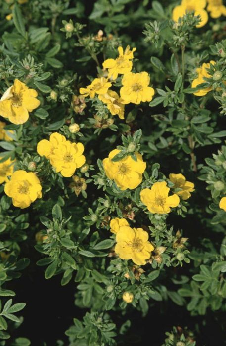 shrubby cinquefoil 'Yellow Bird'