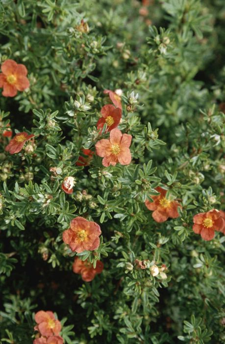 shrubby cinquefoil 'Red Ace'