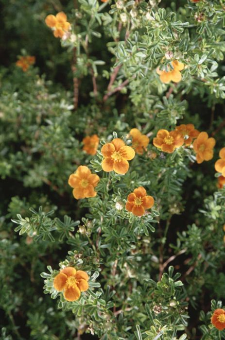 shrubby cinquefoil 'Hopleys Orange'