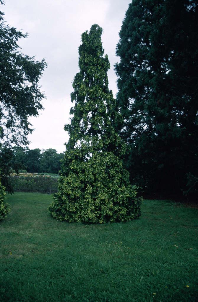 Lawson's cypress 'Lutea'