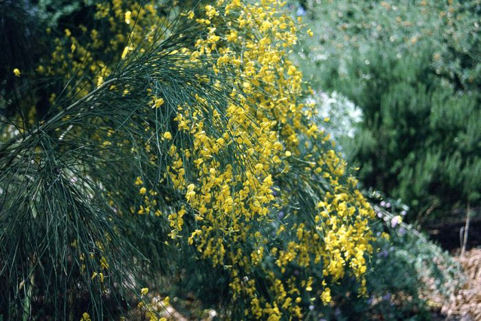 Mount Etna broom