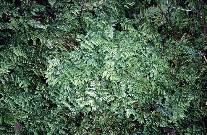 evergreen maidenhair
