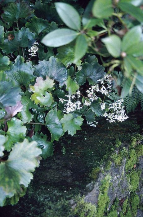 Fortune saxifrage