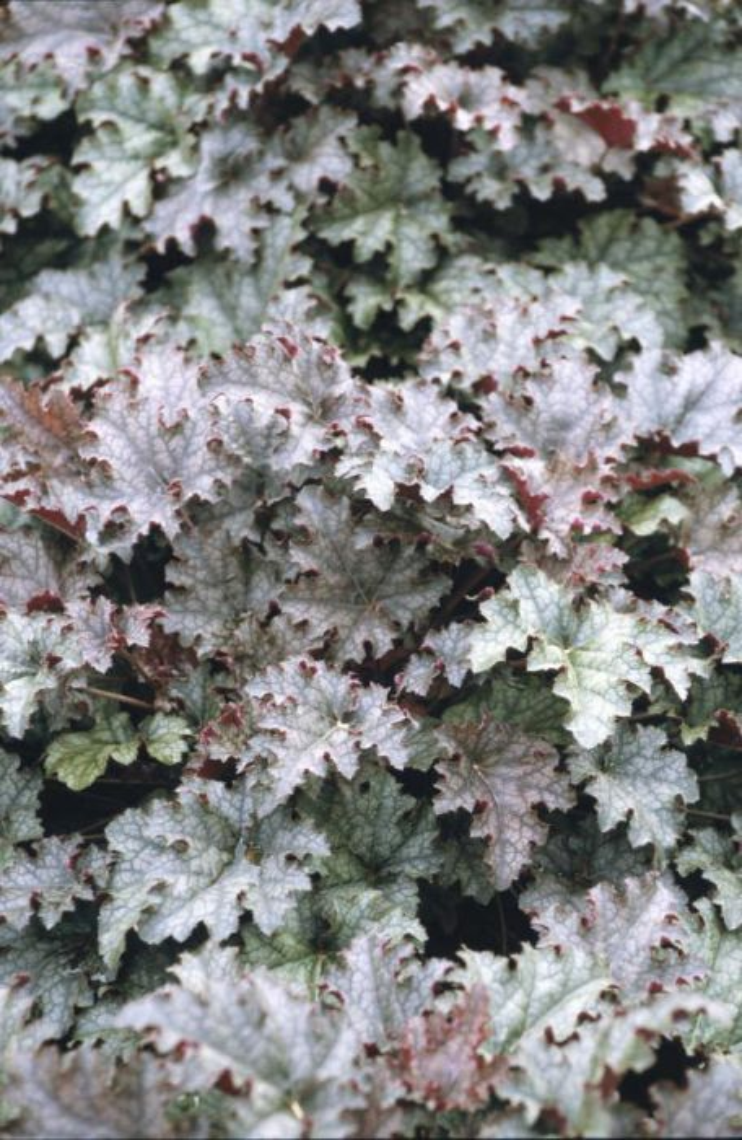 alum root 'Burgundy Frost'
