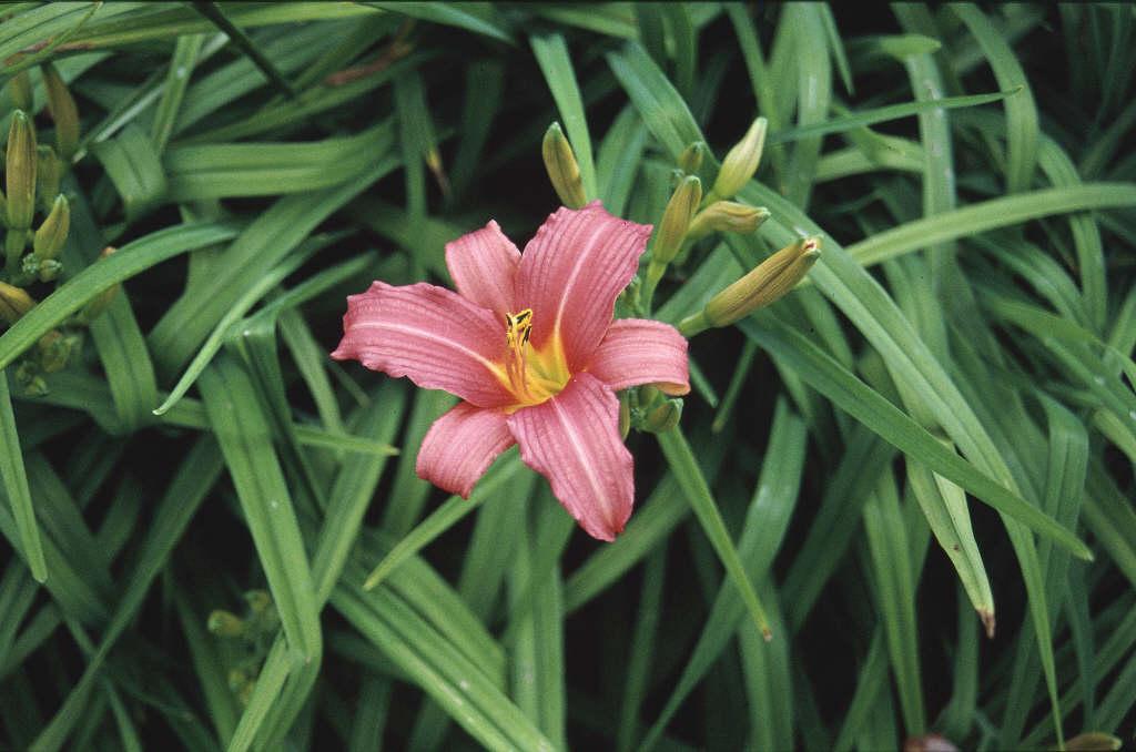 daylily 'Pink Damask'