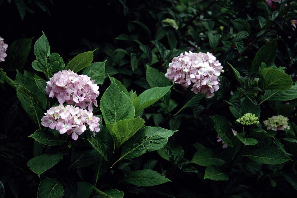 hydrangea 'Nigra'