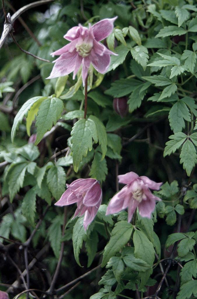 clematis 'Markham's Pink'