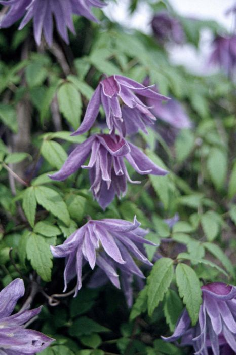 downy clematis