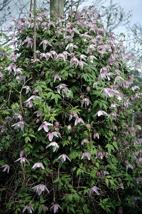 clematis 'Foxy'
