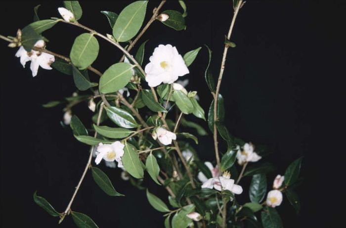 camellia 'Cornish Snow'