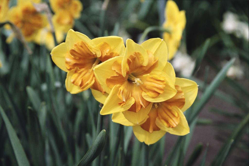daffodil 'Menehay'