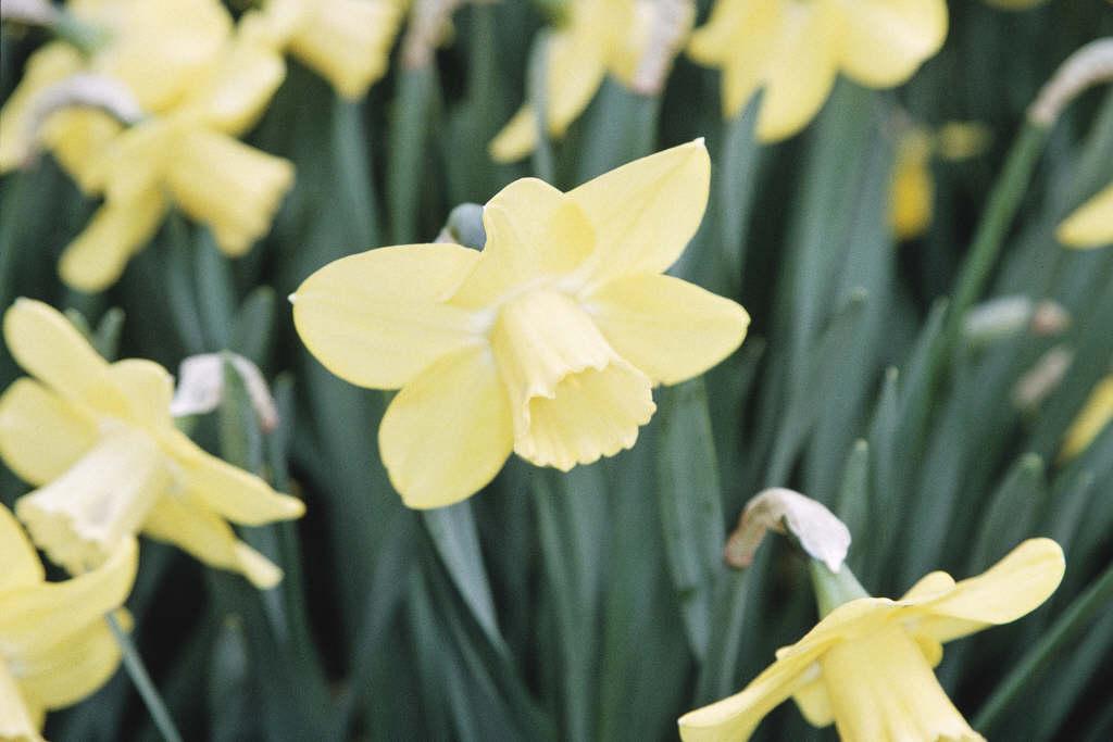 daffodil 'Hambledon'