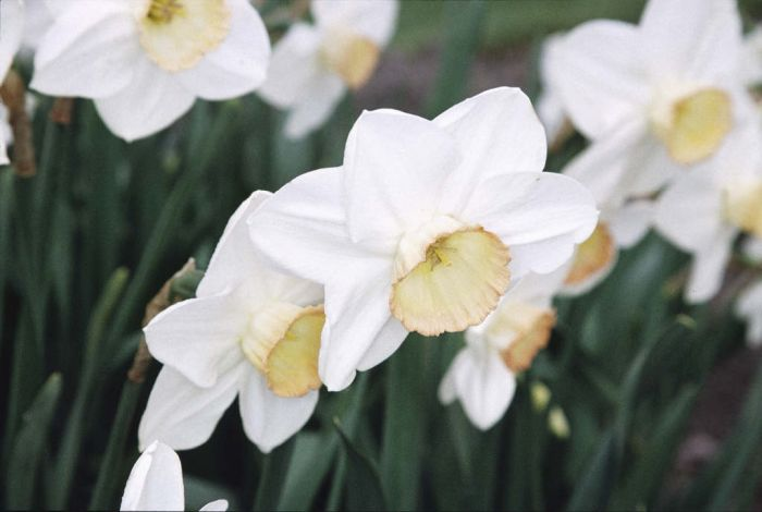 daffodil 'High Society'