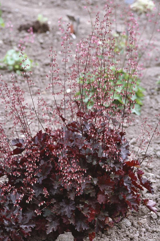 alum root 'Blackbird'